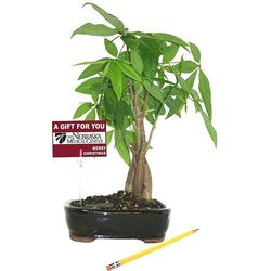 Live Potted Money Tree
